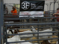 Frey Showgoats team attending a sale in Reno, Oklahoma